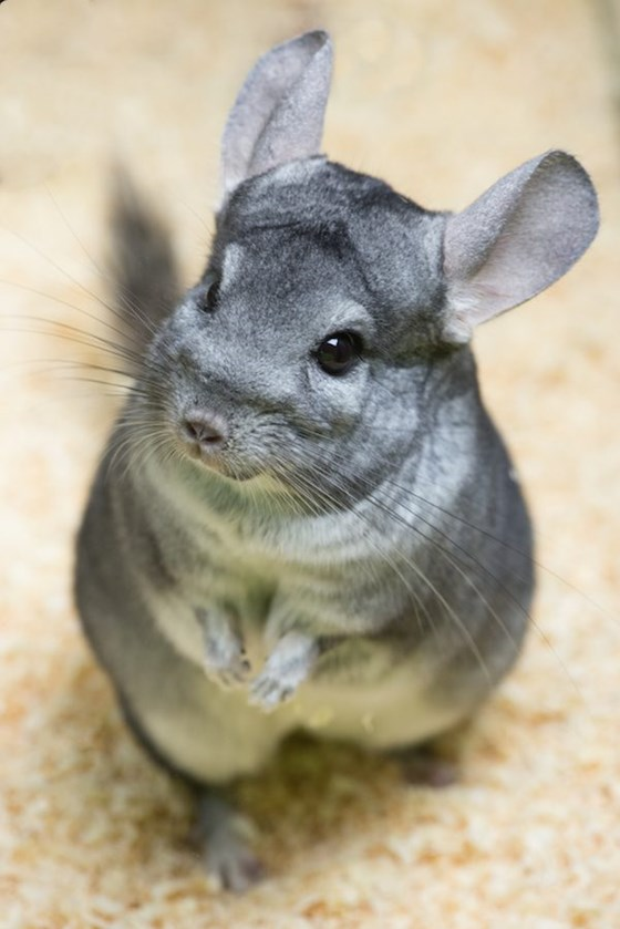 Chinchilla gray