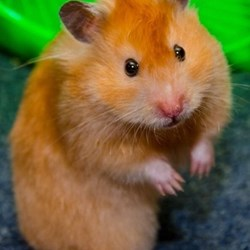 Teddy Bear Hamsters