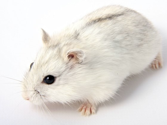 Djungarian winter White Hamsters