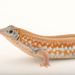 Madagascar Jewel lizard